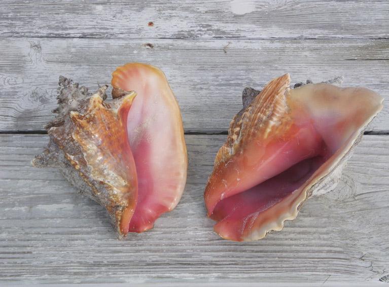 Conch Shells - Triton Luxury Villa (Turks and Caicos)